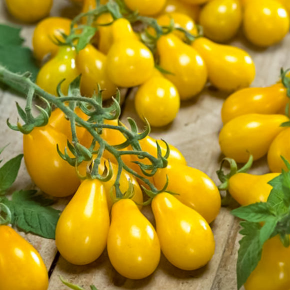 Tomato Yellow Pear • طماطم عرموطي اصفر - plantnmore