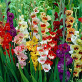 100 gladiolus seeds Perennial  Flower Seeds DIY Aerobic potted plants, rare sword lily seeds