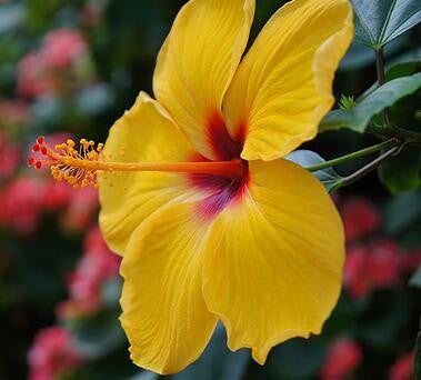 50 Particlesbag Giant Hibiscus Flower Seeds Hardy Mix Color Diy