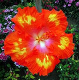 50 Particles/bag Giant Hibiscus Flower Seeds Hardy, Mix Color, DIY Home Garden Potted Or Yard Flower Plant