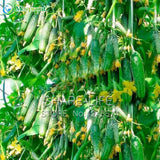 Green Vegetables Seeds Dutch Cucumber Cuke Seeds - 20 seeds Mini Fruit Cucumber