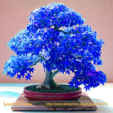 100% Real Japanese Ghost Blue Maple Tree Bonsai Seeds, 10 Seeds/Pack, Acer palmatum atropurpureum, Bonsai sow all year