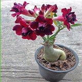 1 Pcs Exotic Rare Pink Petals Desert Rose Seeds True  Beautiful Bonsai Potted Flowers Balcony Adenium Obesum Seed