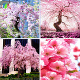 10 pink fountain weeping cherry tree, DIY Home Garden Dwarf Tree ornamental plant