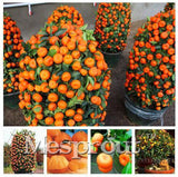 30 pcs Bonsai Orange Seeds NO-GMO Mini Bonsai Tree Balcony Patio Potted Fruit Trees Kumquat Seeds Tangerine Citrus