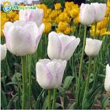 24Colors Perfume Tulip Seed High-grade Flower Bonsai Seeds, Most Beautiful and Colorful Tulip Plants Perennial Home Garden 10PCS
