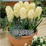 Hyacinth seeds Hyacinthus Orientalis Indoor green plants, flower plants, easy to grow - 50pcs Hyacinthus seeds