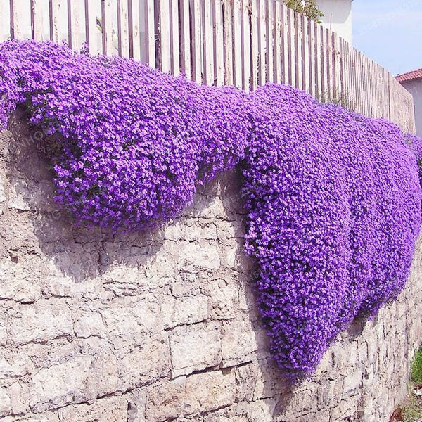 100 Aubrieta Cultorum Seeds For Drought Tolerant Rock