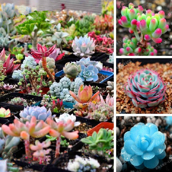 300seeds/pack Mix Succulent seeds lotus Lithops Pseudotruncatella Bonsai plants Seeds for home & garden Flower pots planters