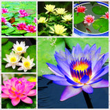 10 pcs Aquatic plants flower seeds bowl lotus, Water Lilies lotus seeds, 100% genuine rainbow seeds