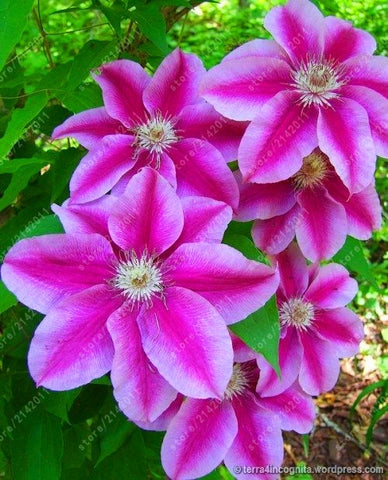 100pcsbag clematis seeds flower clematis vines bonsai flower seeds 100pcsbag clematis seeds flower clematis vines bonsai flower seeds perennial flowers climbing clematis plants mightylinksfo