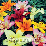 100 pcs  24 Colors Lily Seeds, Cheap Perfume Lilies Seeds, Rare Color Flower Garden Plant - Mixing Different Varieties