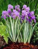 50 pcs/bag iris flower, iris seeds rare bonsai Phalaenopsis Orchid flower seeds 18 colors perennial Natural growth plant