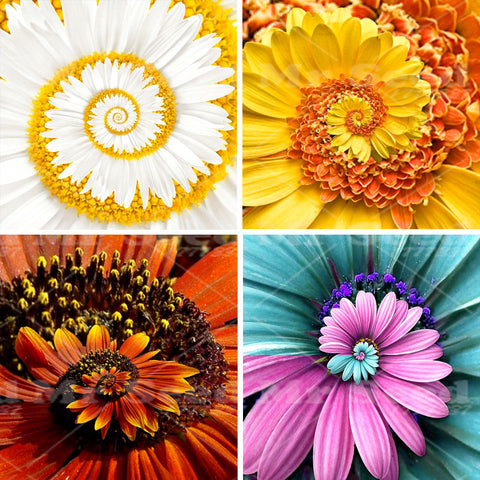 30pcs A Miracle Daisy seeds hardy bonsai plants rare flower seeds ornamental flowers