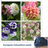 European Columbine Seeds- Aquilegia vulgaris  rare bonsai flower seeds for home garden Perennial plants. Mixed color 50seeds/bag