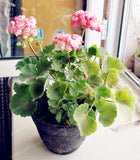 Two-color Red White 100 pcs Rare Geranium Seeds, Variegated Geranium Potted Winter Garden Flower, Bonsai Potted Flower Plant