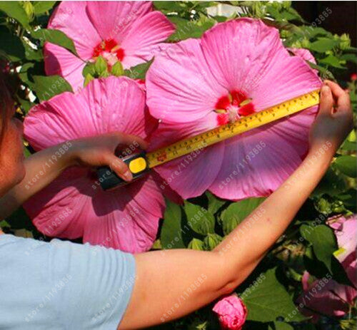 100 Pcsbag Hibiscus Flower Seeds Potted Giant Hibiscus Seed