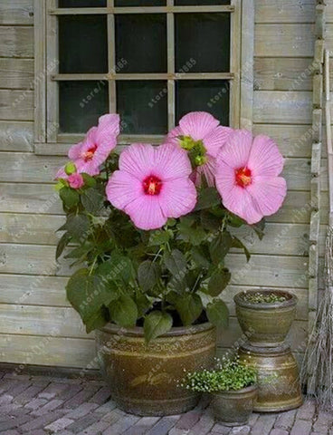 100 Pcsbag Hibiscus Flower Seeds Potted Giant Hibiscus Seed Perennial Huge 10 12 Inch Home Garden Plant Flower Seeds