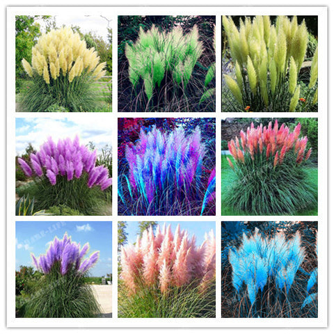 1200 pcs/package Pampas Grass seeds, rare reed flower seeds for home garden planting Selloana Seeds Garden decoration DIY