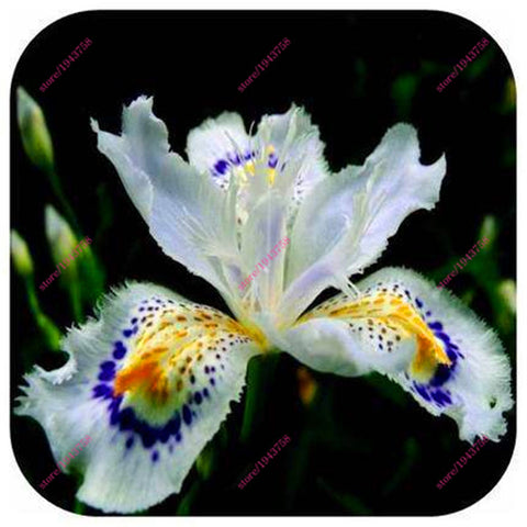100pcs Iris orchid seeds, Plant bonsai butterfly iris seed, flower seeds perennial plant for home garden