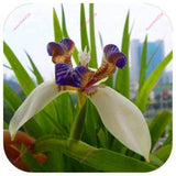 100pcs Iris orchid seeds,Plant bonsai butterfly iris seed,flower seeds perennial,plant for home garden