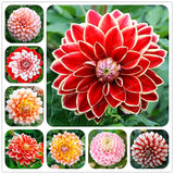 Rare Mixed Colors Dahlia Seeds Beautiful Perennial Flower Seeds Dahlia for DIY Home Garden 10 PCS/Bag