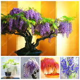 10 seed/bag wisteria seeds wisteria tree bonsai flower seeds tree seeds 9 colors wisteria plants DIY for home garden