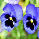 200 Pcs Beautiful Pansy seeds Mix Color Wavy Viola Tricolor Flower Seed bonsai potted DIY home & garden