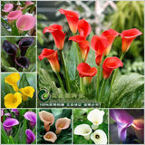 Calla lily flower seeds spring and winter seasons set an indoor potted plant grass seed planting, 10 seeds