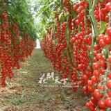 Novel Plant Pots Tomatoe Plants, 200 seeds/pack