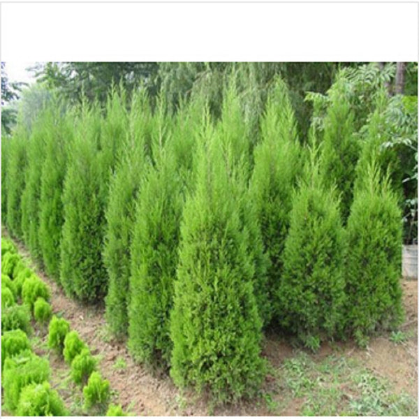 Cypress Trees Seeds Conifer Bonsai Seeds DIY Home Garden  20pcs/bag