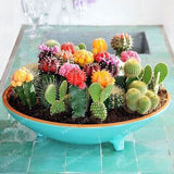 Multifarious Ornamental Plants 100 Mixed Cactus Seeds attractive impressive MARSEED 100% NATURAL home & garden Bonsai plants Seed