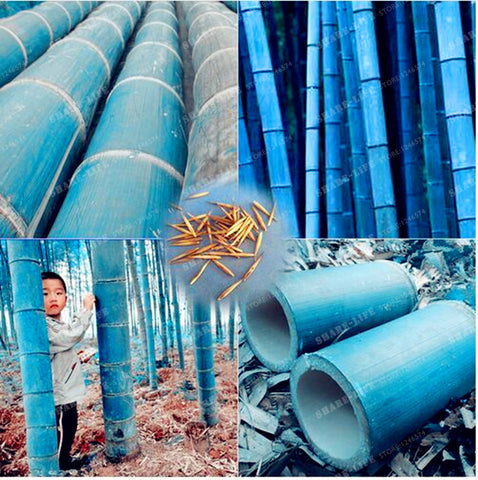 50pcs Rare Blue Bamboo Seeds Decorative Garden Herb Planter Bambu Tree Phyllostachys Heterocycla Seeds For DIY Home Garden