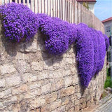 Climbing plant Creeping Thyme Seeds Blue ROCK CRESS Seeds Perennial Ground cover flower, Natural growth for home garden -100pcs