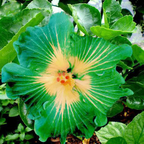 200pcs Giant Hibiscus Seeds 24kinds Hibiscus Rosa Sinensis