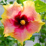 200pcs Giant Hibiscus Seeds 24kinds Hibiscus Rosa-sinensis Flower Seeds Mix Color Hibiscus Tree Seeds For Flower Potted Plants