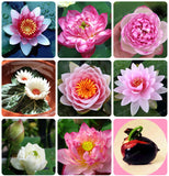 Flower Seeds Bowl Lotus Flower Hydroponic Aquatic Plants Lotus Seeds Perennial Water Lily Plant for Mini Garden 1pcs/pack