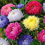 100pcs Cute Aster Chrysanthemum Seeds (Callistephus) Bonsai Plant Give You a Garden Full of Bright Summer big Flowers Home Garden