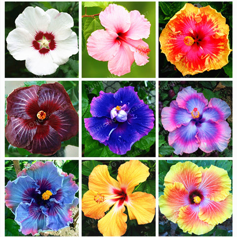 100 Pcs/Bag Hibiscus Flower Seeds Giant Hibiscus Seed Bonsai Flower Seeds Outdoor Plant Seeds For Home Garden Easy To Grow