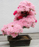 Bonsai Tree japanese Sakura Seeds Rare Japanese Cherry Blossoms Flowers Seeds in Bonsai, Pink Prunus Serrulata 10 seeds/pack