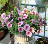 Home garden seeds 100 Petunia seeds mirage multi-color selection