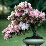 10 seeds Cerasus sp. Seeds Cherry blossoms  Perennial Flower Seeds for Garden in Bonsai