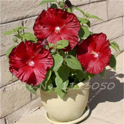 100 Pcs Hibiscus Tree Seed Chinese Hibiscus Flower Hibiscus Seeds