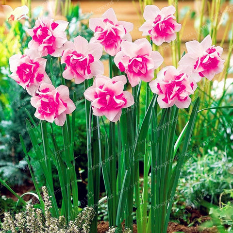 100pcs Flower Daffodil Seeds (not daffodil bulbs) Bonsai Flower Seeds Aquatic Plants Double Petals Narcissus Garden Plant