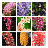 100pcs Cymbidium Orchid Seeds, Bonsai Flower Seeds, 22 Colors To Choose, Plant For Home Garden