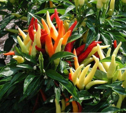 200 seeds Giant Spices Spicy Red Chili Hot Pepper Seeds Plants  potted bonsai garden courtyard balcony plant seeds