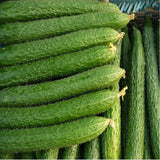 Branch cucumber seeds, hybrid high temperature resistance, high resistance to disease - 100seeds