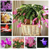 Zygocactus truncatus, Schlumbergera seeds, Indoor potted plants, green plants - 10 seeds