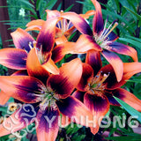 True Lily seeds 24 Colors Flower Lilium seeds, Faint Scent Bonsai Pot Plant For Home Garden 50pcs