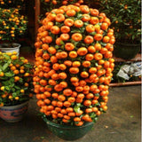10 seeds Balcony Patio Potted Fruit Trees Planted Seeds Kumquat  Orange  Tangerine Citrus